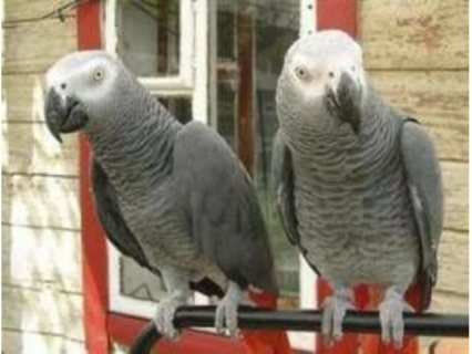 Sweet and lovely African gray for sale