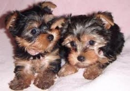 صور Quality Yorkie Puppies Available 1