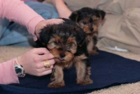 صور Teacup Yorkshire Terrier Puppies 1