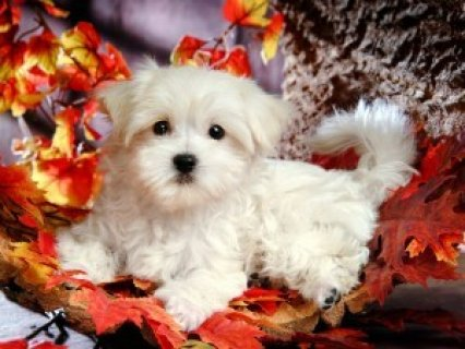 Maltese Puppies for Sale2