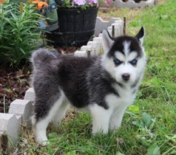 Beautiful Siberian Husky Puppies2