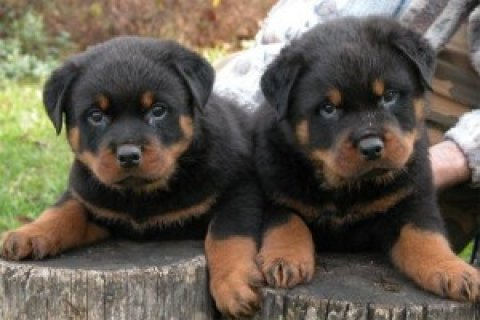 Rottweiler Puppies Available2