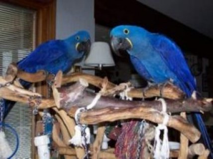 صور Hyacinth Macaw Parrot for Adoption 1
