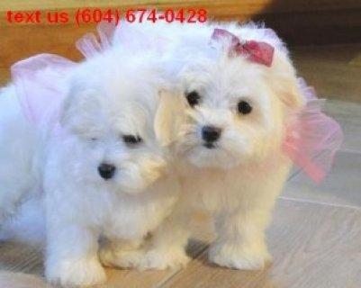 Maltese Puppy for Adoption