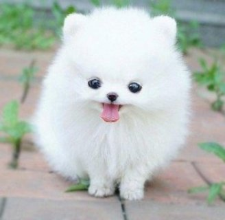 pomeranian for adoption