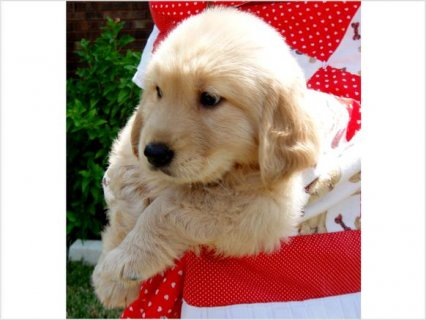 صور Golden Retriever Puppies For Sale  3