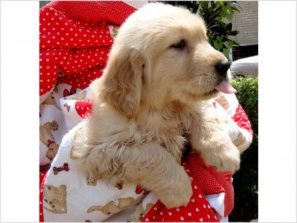 صور Golden Retriever Puppies For Sale  4