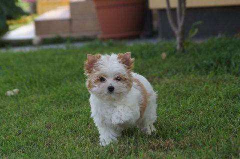 طلب شراء كلب زينة فصيلة مالتيس او بيشون