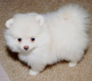 صور 10 Weeks Old Pomeranian Puppies for adoption  1