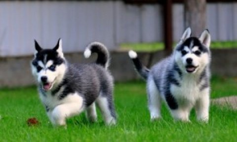 Cute Blue Eyes Siberian Husky for adoption