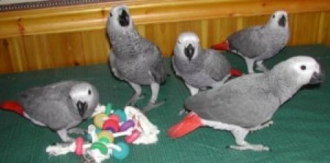 Talking African Grey Parrots for adoption