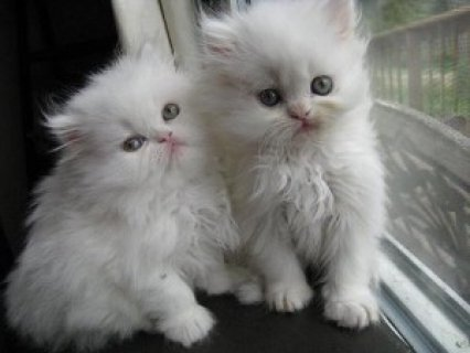 صور Two White Persian Kittens  for adoption 1
