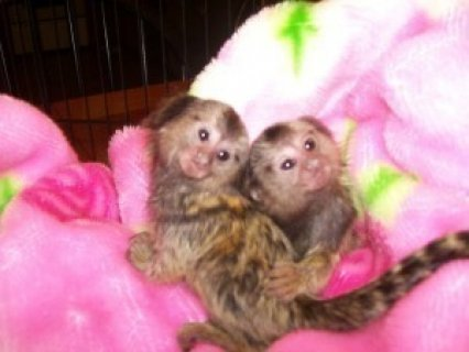 Twin Pygmy Marmosets Monkeys for adoption