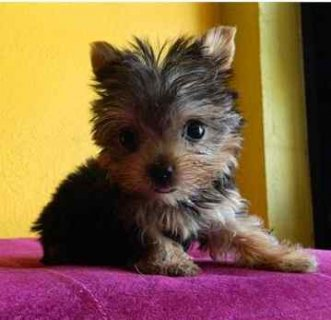Outstanding male and Female Teacup Yorkie Puppies available