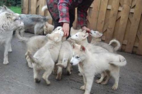 صور Beautiful and cute healthy Siberian Husky baby pupies for sale 1