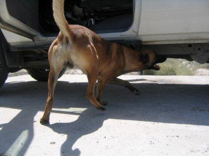 كلاب مدربة لكشف القنابل