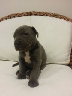 صور cane corso for sale 1