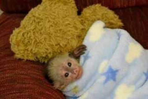Happy new year With Capuchin monkeys For Adoption Lovely