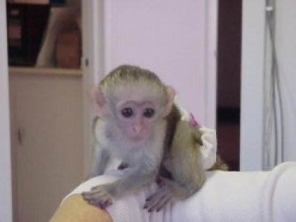 Gorgeous Cute Male And Famale Babies Capuchin Monkey Available*