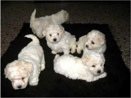 Pure breed Bichon Frise puppies for adoption