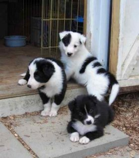 صور Gorgeous Colllie Pupppies for adoption 1