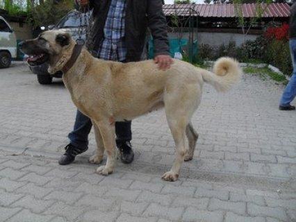 كلب كانجل التركي