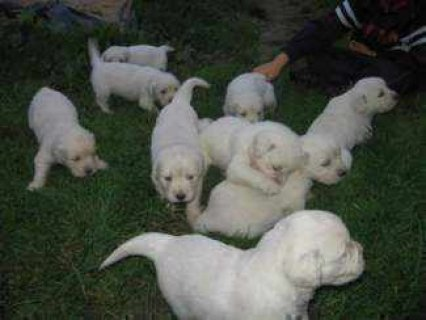صور Excellent temperament Golden retriever puppies for adoption 1