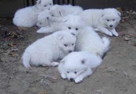 صور CUTE AND LOVELY AMERICAN ESKIMO PUPPIES FOR ADOPTION 1