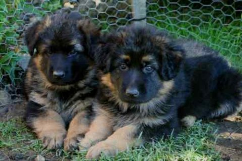 German Shepherd Puppies..ready Now For Adoption