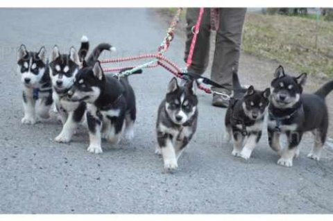 Male and Female Siberian Husky Puppies ready for adoption