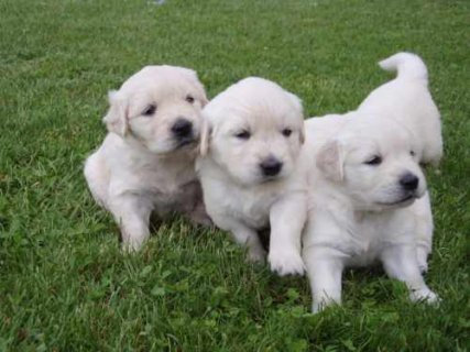 Beautiful Golden Retriever Puppies Available For AdoptionCool