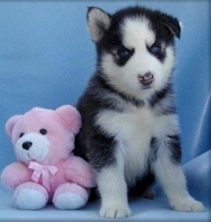 2 Siberian Huskies for sale