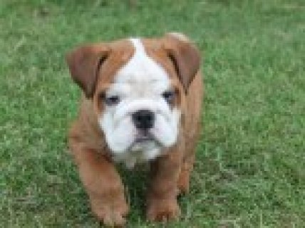 English Bulldog Female Puppy