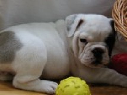 Pure Breed English Bulldog Pups