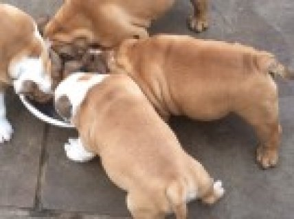 Lovely bulldog female puppies available to approved homes only.