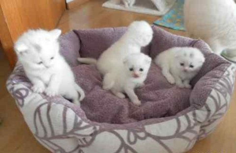 Cream white british short hair kittens for adoption