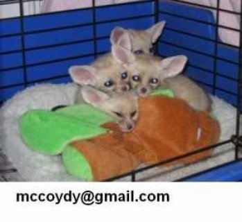 Male And Female fennec fox For Sale Now Ready To Go Home