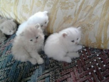 Toy Persian kittens ready for