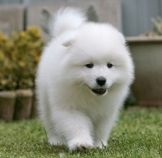 adorable samoyed puppy available for good homes