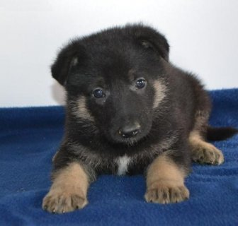 Brave German Shepherd puppies for you