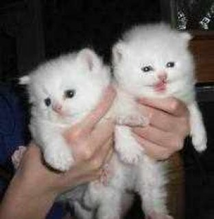 Cuties Tiny Teacup Persian Kittens For Adoption