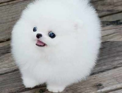 Good Looking teacup Pomeranian puppies for Adoption