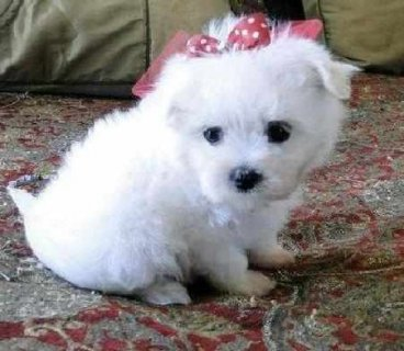 Two teacup Maltese puppies for adoption