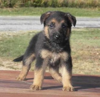 German Shepherd Puppies. Contact Me Directl