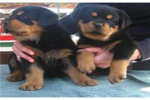 Registered male and female Rottweiler puppies