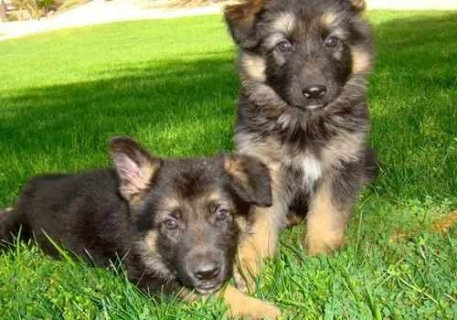 Affectionate cute male and female German shepherd puppies