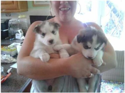 Adorable siberian Husky Puppies for re homng