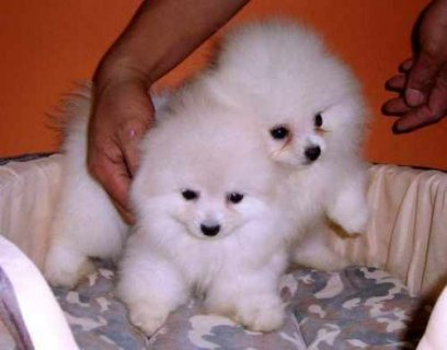 cute male and female Pomerainian puppies for adoption