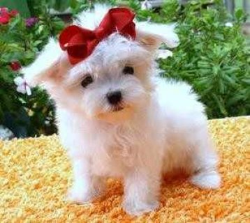 Male and female Maltese ready for adoption