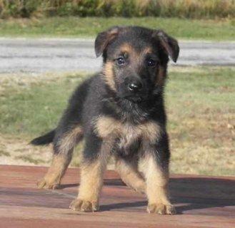 Beautiful german shepherd puppies Ready to Go